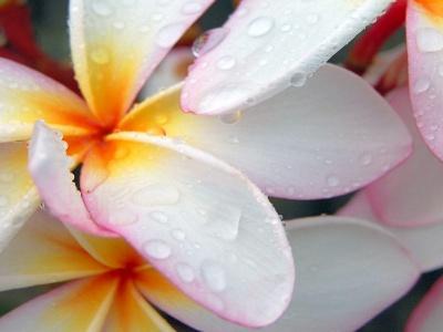 plumeria after morning rain