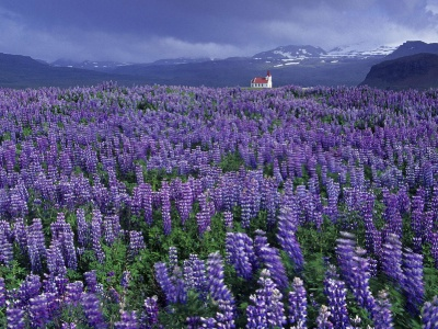 Wild Lupine and Church Near Hellissandur Snaefellsnes Peninsula Iceland