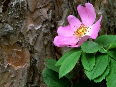 Wild Rose Against a Red Pine Canada