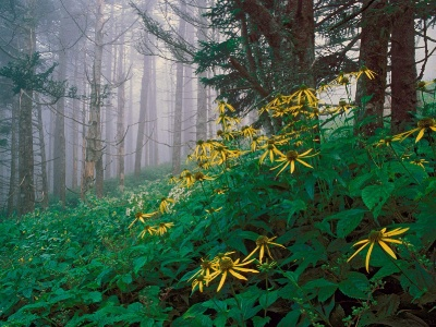 Woodland Sunflowers Great Smoky Mountains Tennessee