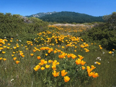 Yellow Brick Road California Poppies