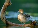 Pintail Hen
