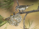 Plumbeous Vireo Mother With Hungry Chicks White Mountains Arizona