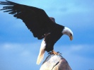 The Messenger Bald Eagle