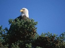 Top Bald Eagle