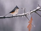 Birds Wallpapers :: Tufted Timtmouse