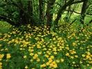 Flowering Leopardsbane Scotland