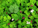 Oxalis in Spring