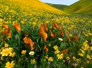 Peaceful Valley Poppies and Coreopsis