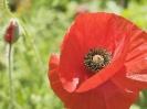 poppys2