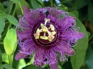 Purple Passion Fruit Flower