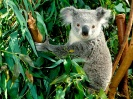 Australia-Hanging Out Koala