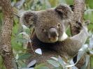 Australia-Koala in Eucalyptus Tree