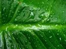 Green leaf water drop 06